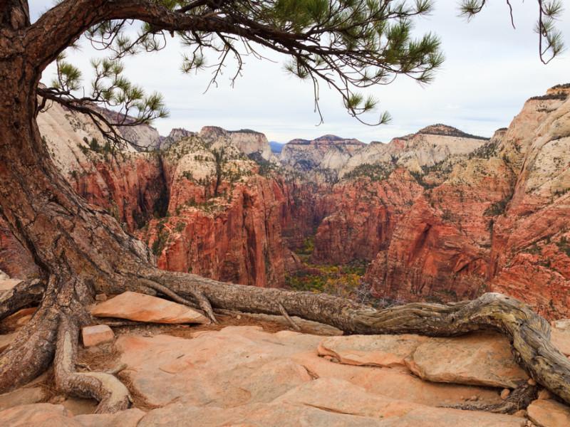 дерево над каньоном, via shutterstock
